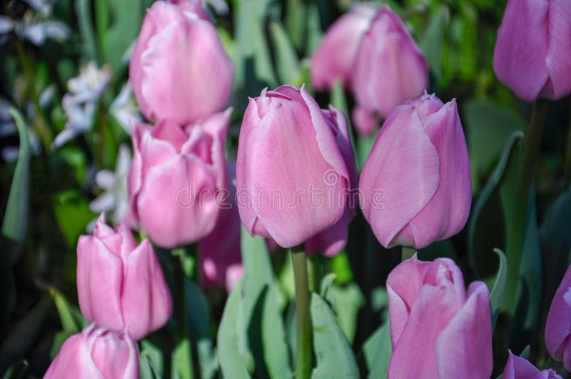 Tulip blossom. Close-up pink flowers field outdoors royalty free stock photo