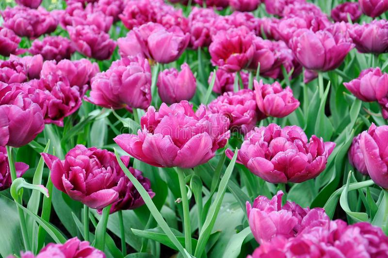 Tulip blossom. Close-up pink flowers field outdoors stock image