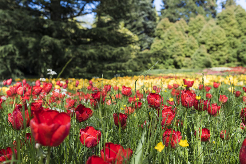 Tulip blossom island Mainau Germany royalty free stock image