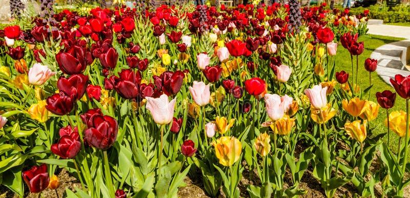 Tulip Booming en Amsterdam, Países Bajos foto de archivo libre de regalías