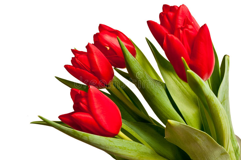 Tulip bouquet. In a vase, isolated on a white background royalty free stock photo