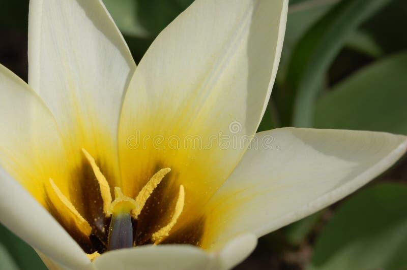 Tulip branco fotografia de stock royalty free