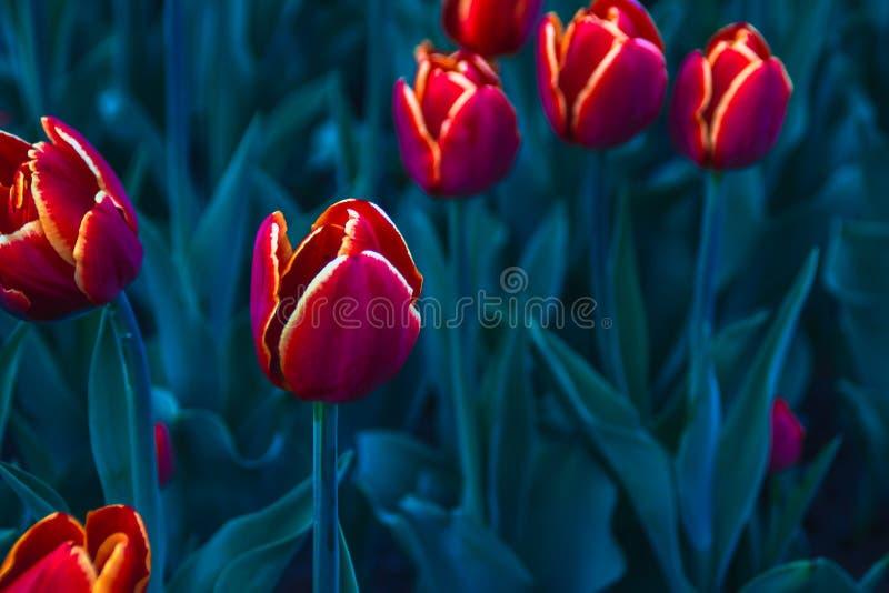 Tulip brilhante foto de stock royalty free