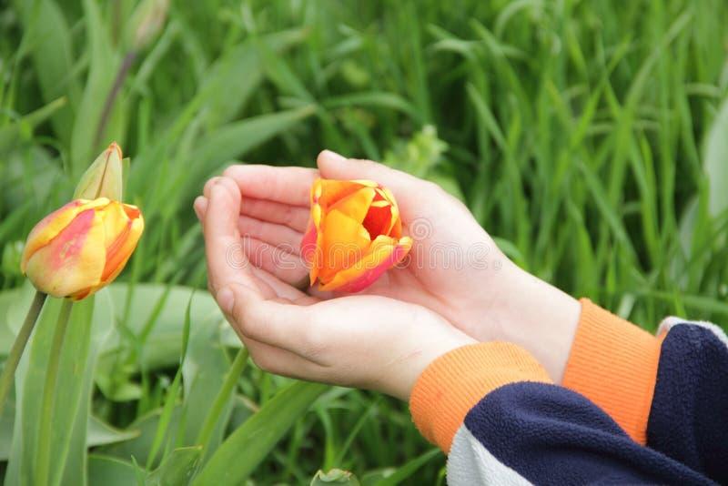 Tulip Bud arancio aperta in mani del ` s dei bambini fotografia stock
