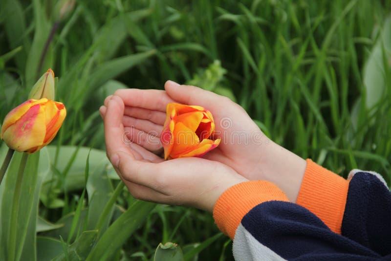 Tulip Bud arancio aperta in mani del ` s dei bambini fotografia stock libera da diritti