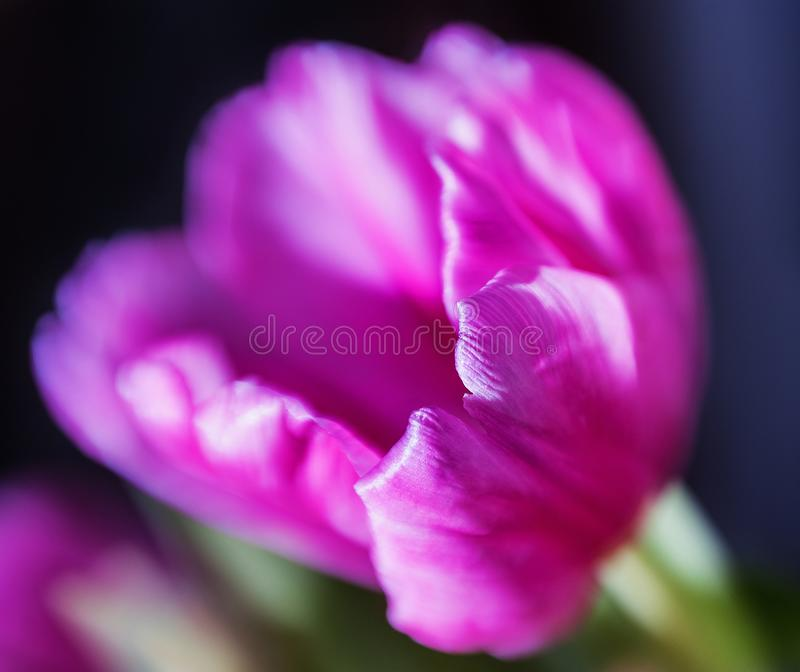 Tulip bud close-up with strong blur and focus on the edge of the petal with a dark background original bright frame. Tulip bud close-up with strong blur and stock image