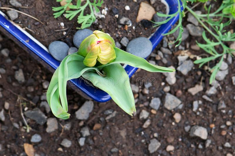 Tulip Bud Green Bracts apontada amarela foto de stock royalty free