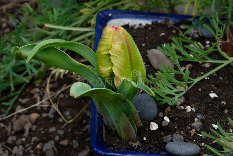 Tulip Bud Green Bracts apontada amarela imagem de stock