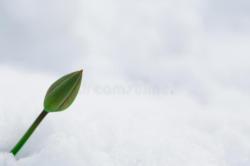 Tulip bud under the snow in the spring royalty free stock image