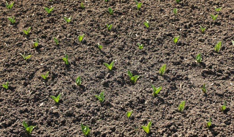 Tulip bud plantation royalty free stock images