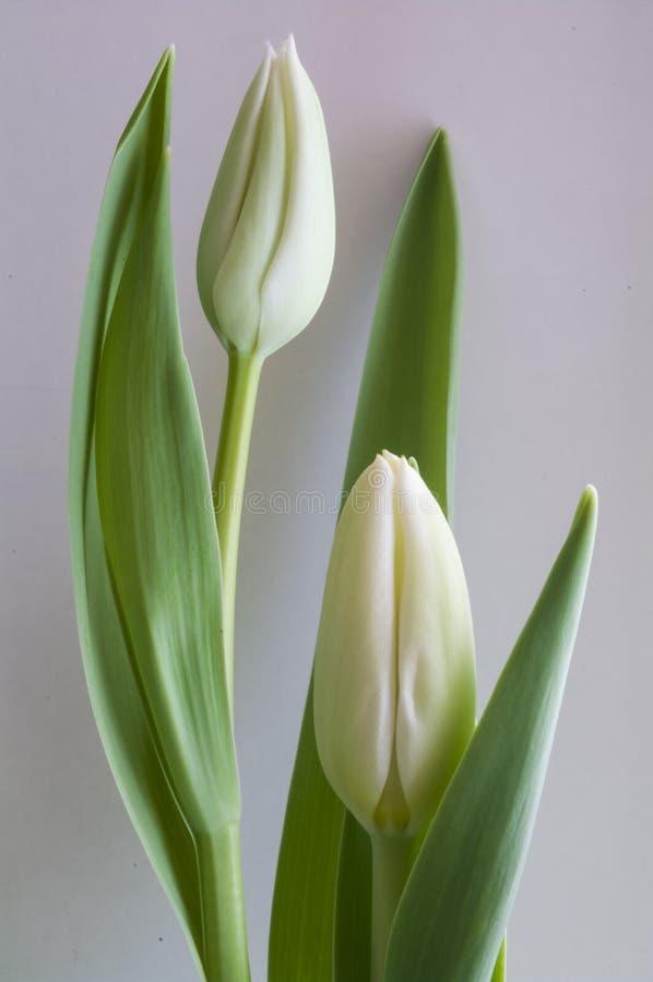 Tulip Buds branca foto de stock