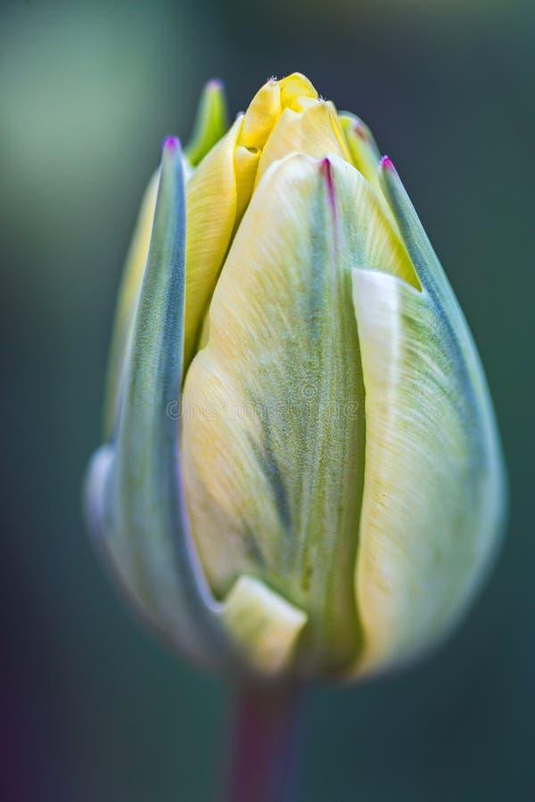 Tulip Bulb Emerging arkivfoton
