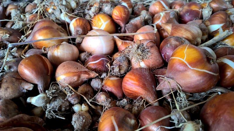Tulip Bulbs fotos de archivo libres de regalías