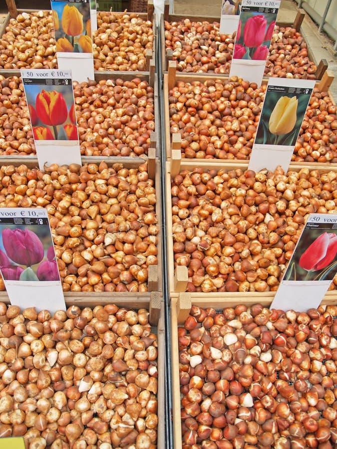 Tulip bulbs in Amsterdam stock photos