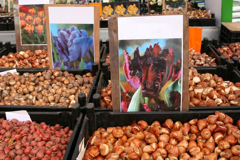 Tulip bulbs at the Singel Flower market in Amsterdam, Netherlands. Tulips bulbs are for sale ar the flower market in the city centre of Amsterdam in the stock photos