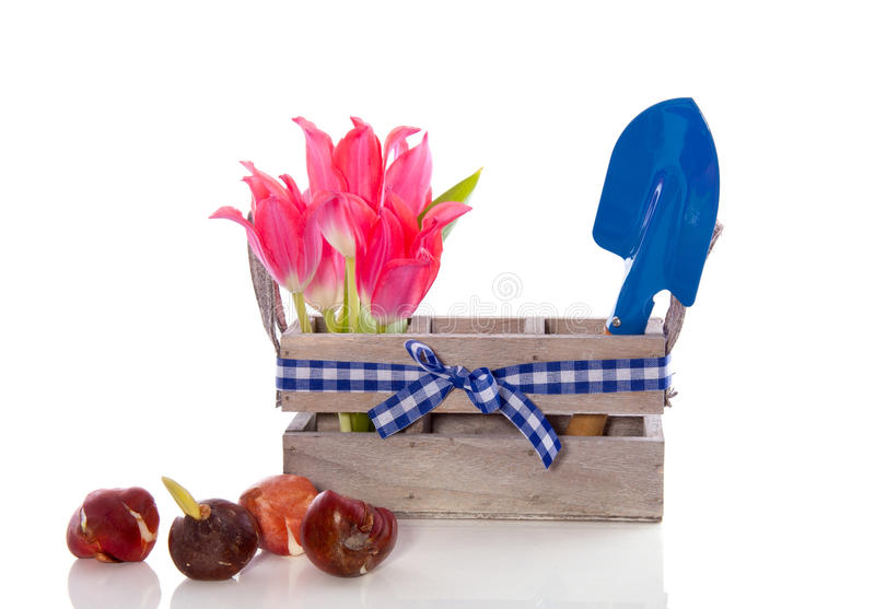 Tulip Bulbs And Garden Tools Stock Image
