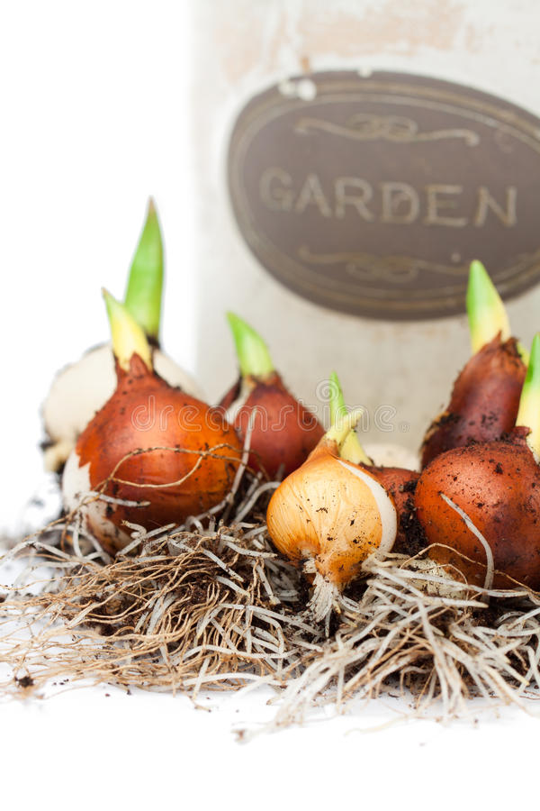 Tulip bulbs ready for planting and flowerpot royalty free stock image