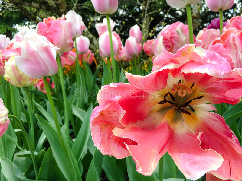 Tulip Center cor-de-rosa foto de stock