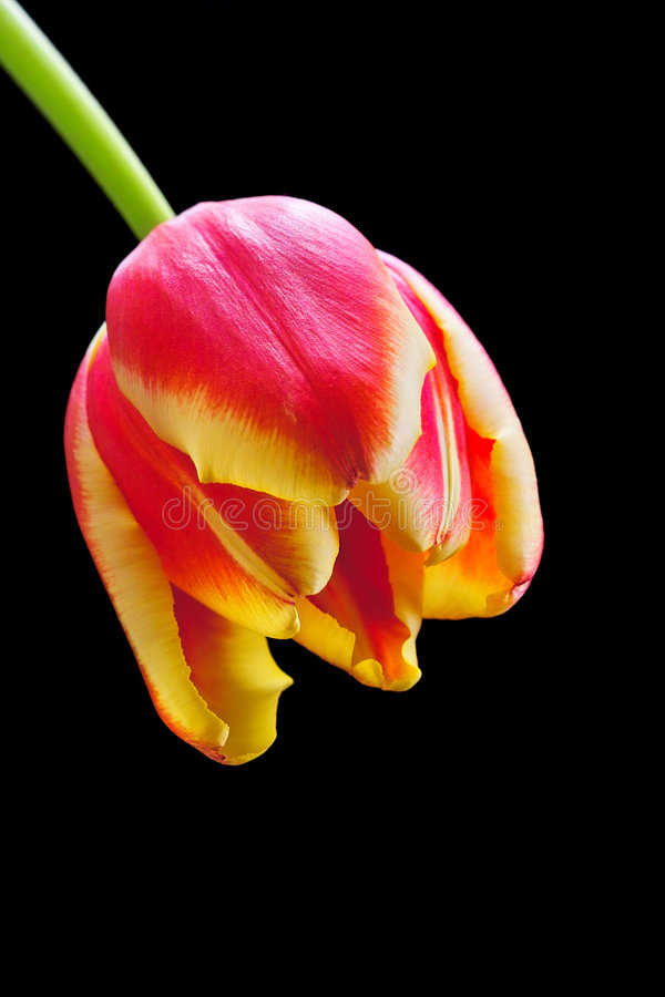 Tulip close-up stock photo