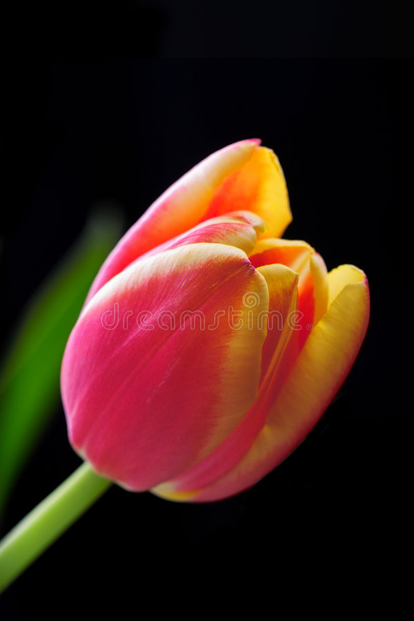 Tulip close-up stock images