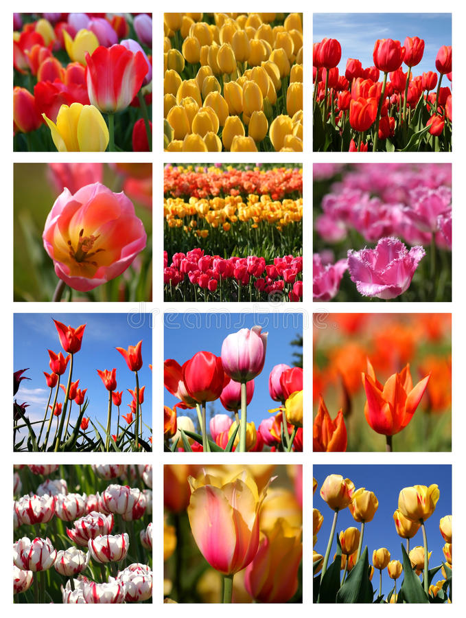 Tulip collage royalty free stock photo