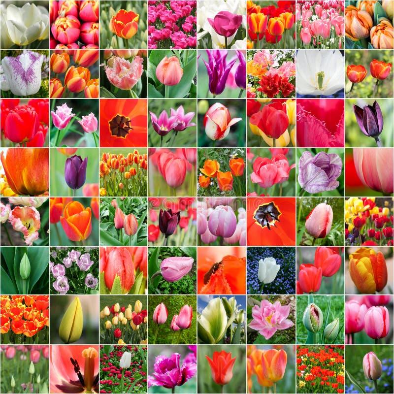 Tulip collage royalty free stock photo