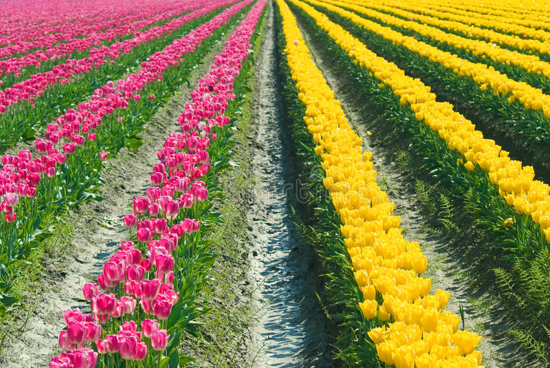Tulip Color Crossroads royalty free stock photography