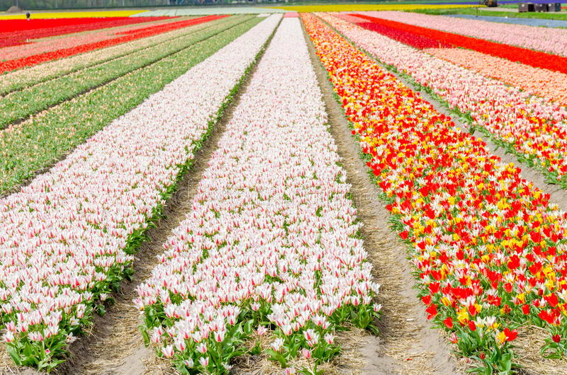 Tulip colorful blossom flowers cultivation field in spring. Keukenhof, Holland or Netherlands, Europe royalty free stock photos