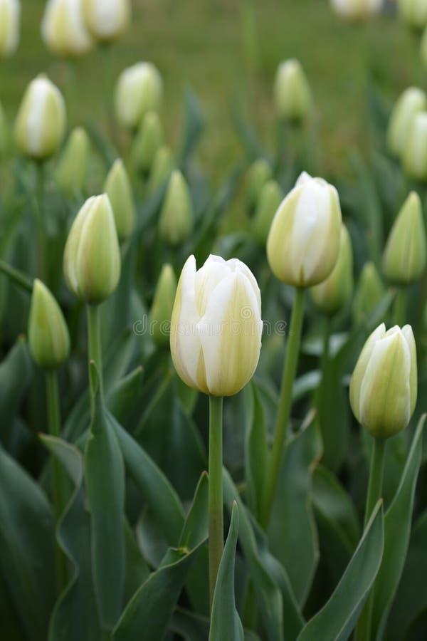 Tulip Coquette stock afbeeldingen