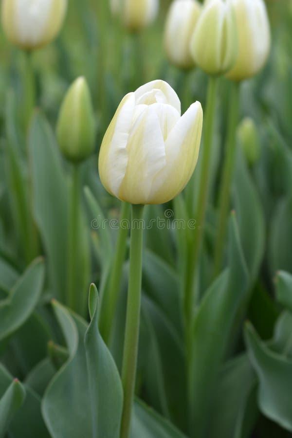 Tulip Coquette stock afbeelding