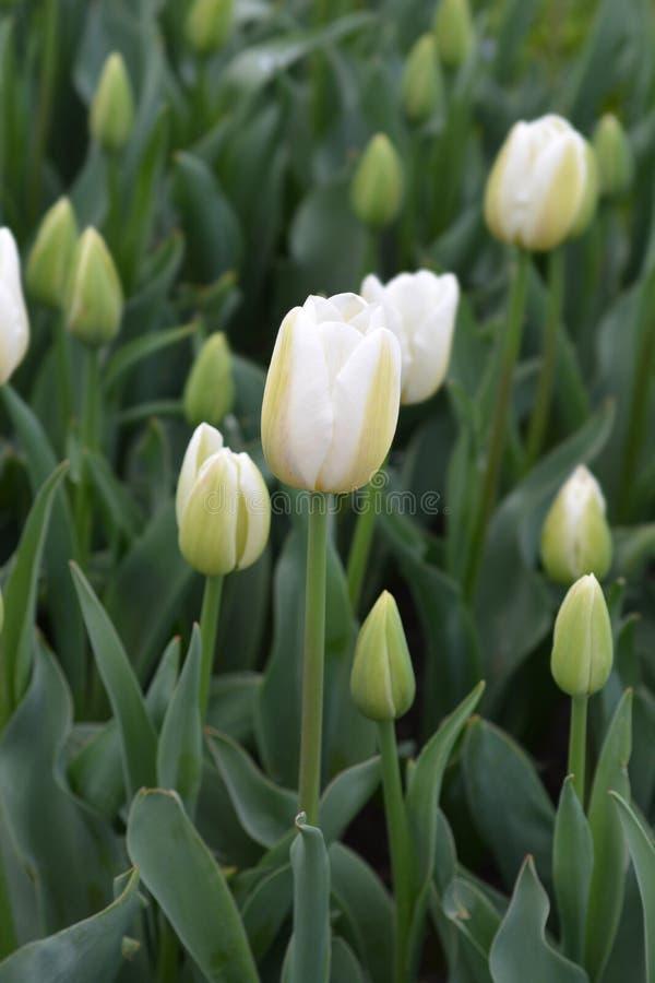 Tulip Coquette royalty-vrije stock foto