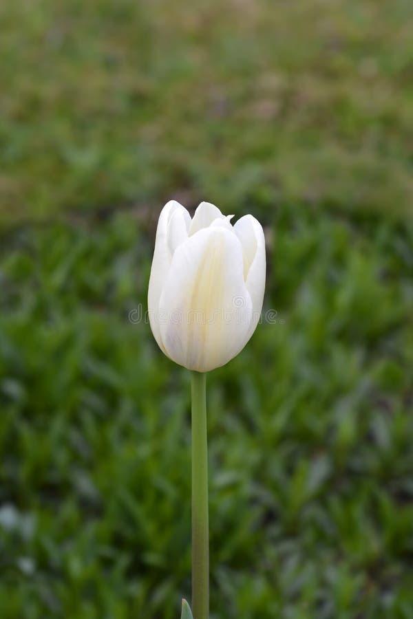 Tulip Coquette royalty-vrije stock afbeeldingen