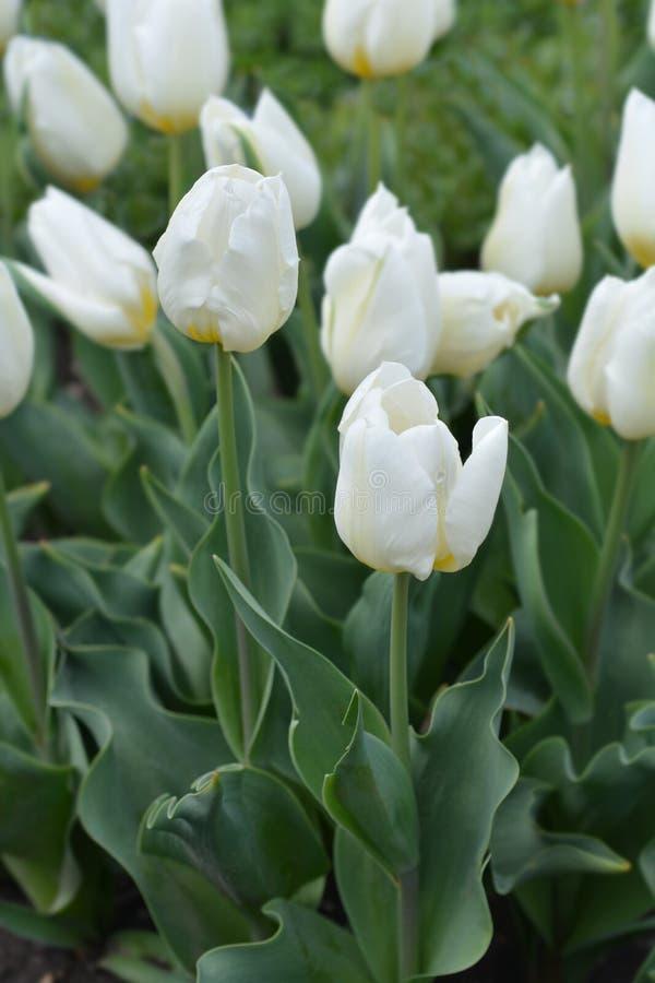 Tulip Coquette royalty-vrije stock foto's