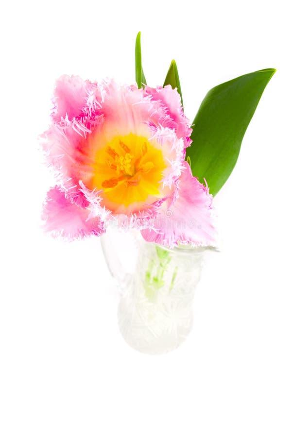 Tulip cor-de-rosa em um vaso fotografia de stock