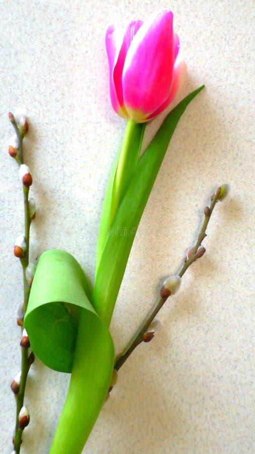 Tulip cor-de-rosa no fundo branco imagem de stock