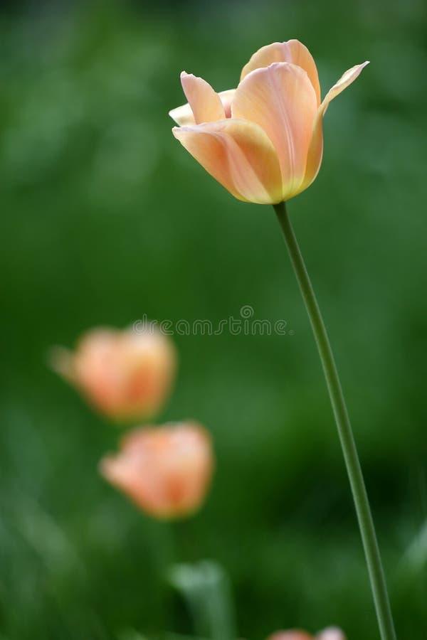 Tulip da cor de Champagne foto de stock royalty free
