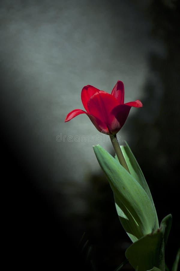Tulip da mola fotografia de stock