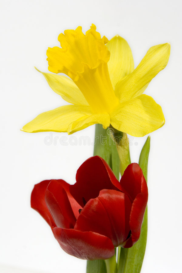 Tulip and Daffodil stock photo