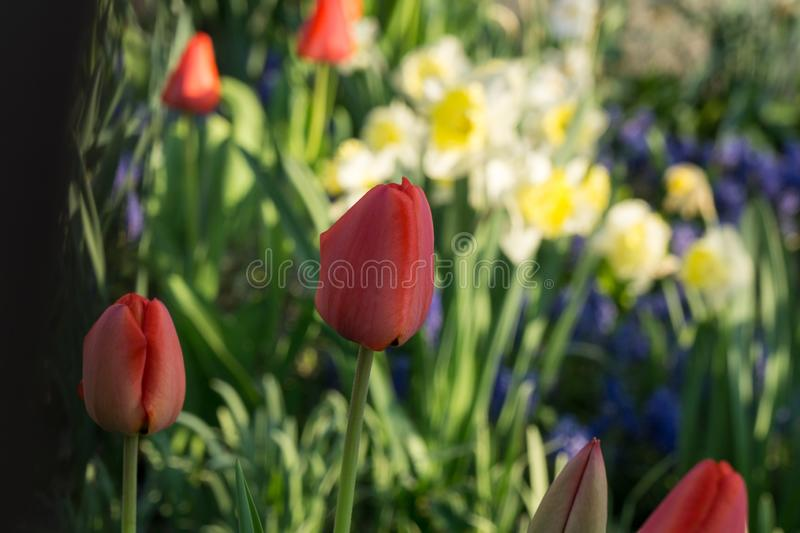 Tulip and daffodil flowers and other spring flowers in grass in garden. Tulip flowers and other spring flowers in grass in garden. Slovakia stock photos