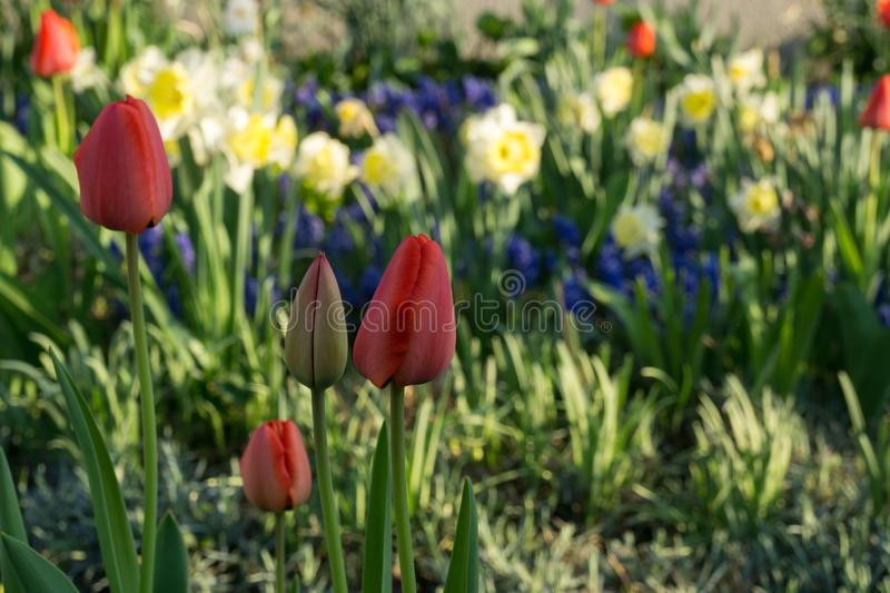 Tulip and daffodil flowers and other spring flowers in grass in garden. Tulip flowers and other spring flowers in grass in garden. Slovakia royalty free stock image