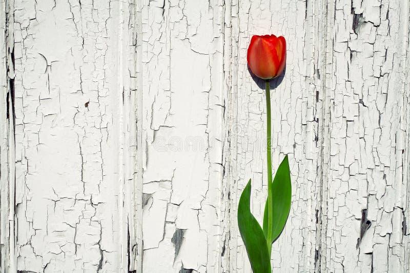 Tulip de encontro à parede de madeira imagens de stock