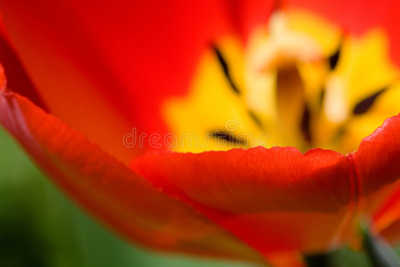 Download Tulip detail stock image. Image of orange, natural, colourful - 2301291