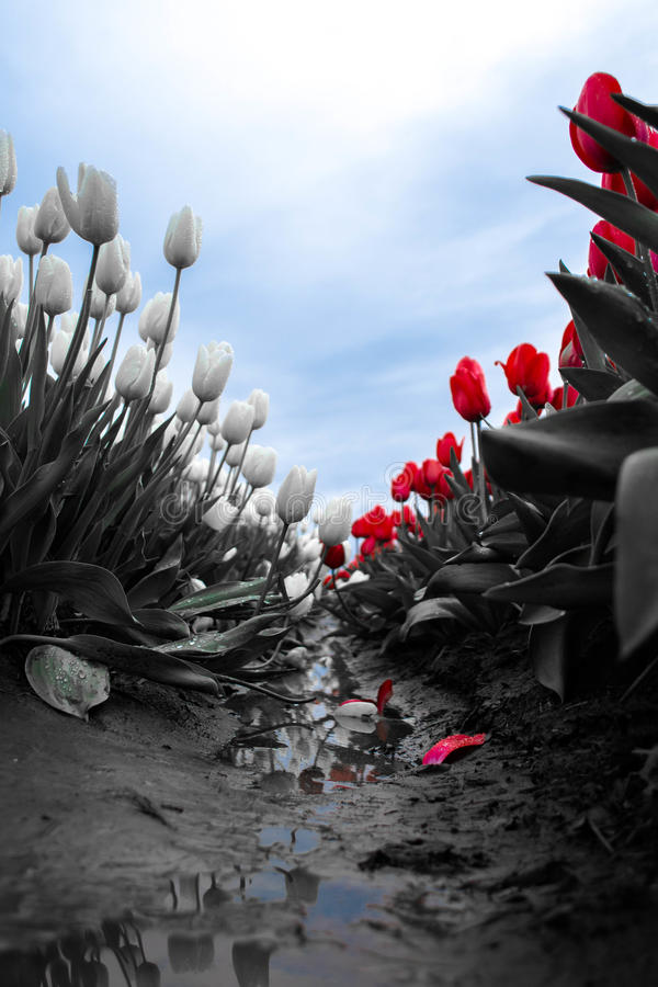 Tulip Divide imagen de archivo
