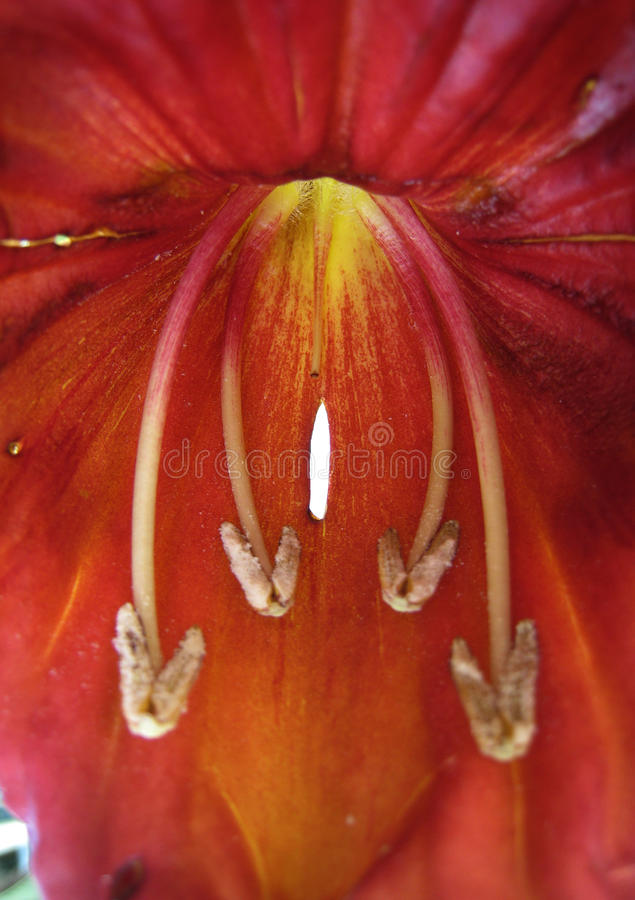 Tulip do africano da flor imagem de stock royalty free