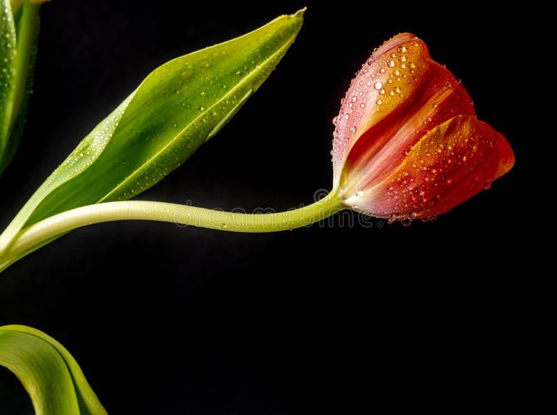 Tulip en studio photos stock