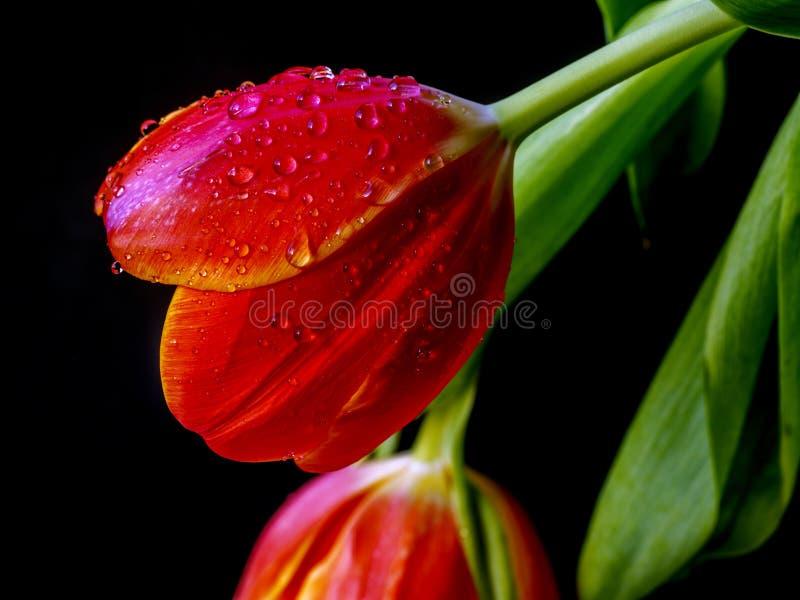 Tulip en studio images stock