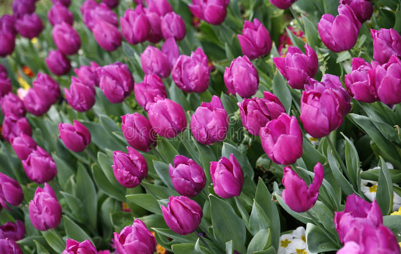 Tulip. The tulip is a Eurasian and North African genus of herbaceous, perennial, bulbous plants in the lily family, with showy flowers royalty free stock photos