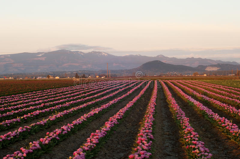 Download Tulip farm stock image. Image of rows, mountains, skagit - 28916765
