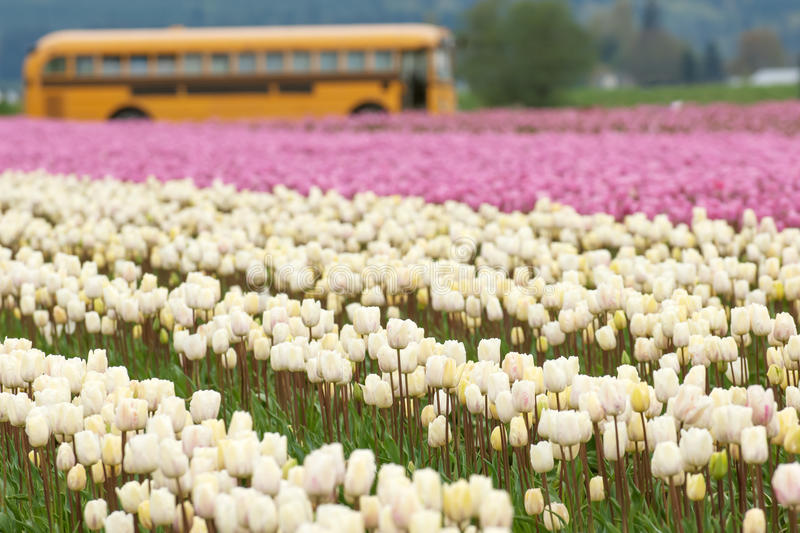 Download Tulip farm stock photo. Image of rural, tulips, scenic - 28970154