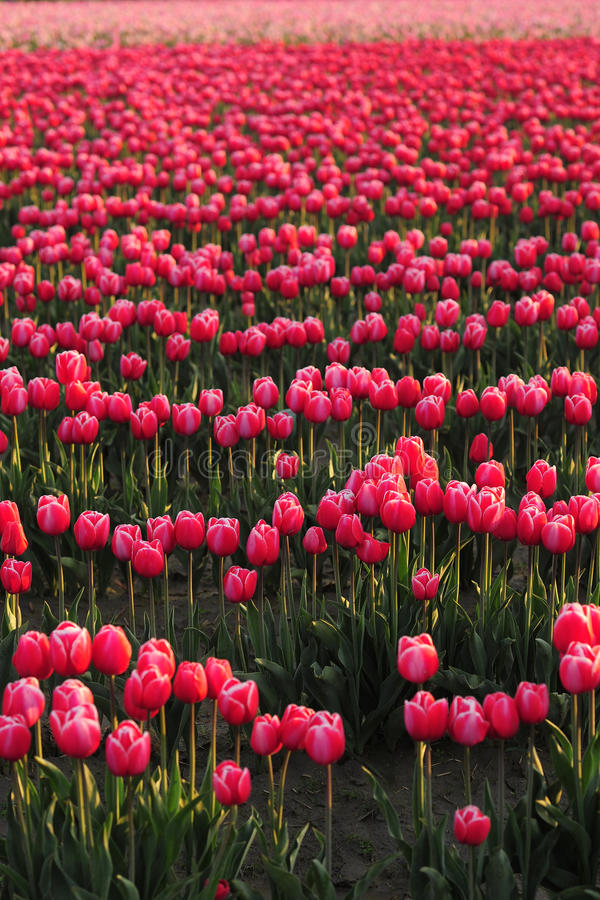 Download Tulip farm background stock image. Image of cute, pink - 24645635